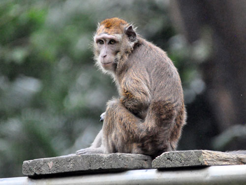 photo Philippine long-tailed macaque / <span class='cursive'>Macaca fascicularis philippensis</span>