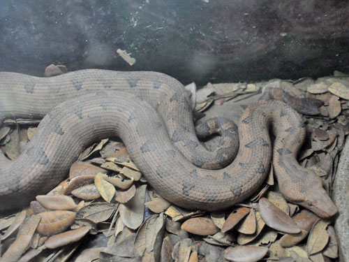 photo Candoia carinata / Pacific boa