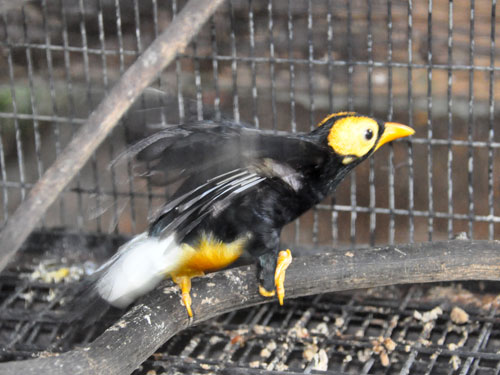 Yellow-faced mynah