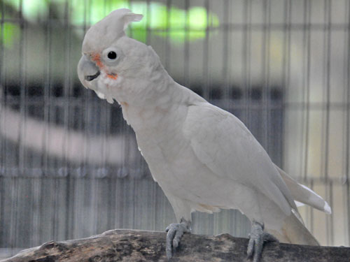 Goffin's cockatoo