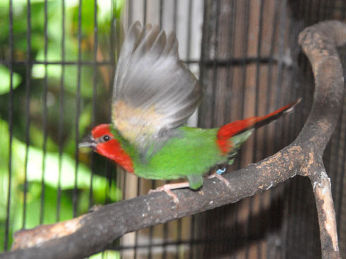 Red-throated parrot finch