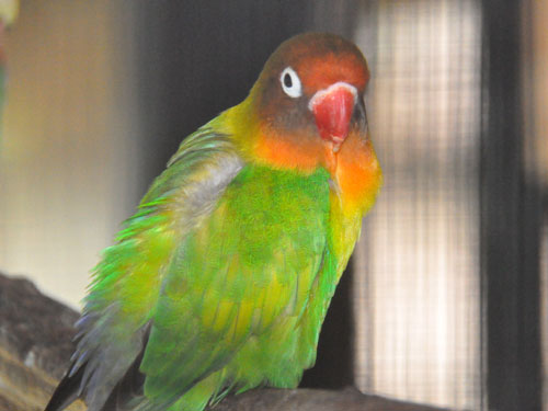photo <span class='cursive'>Agapornis fischeri</span> / Fischer's lovebird
