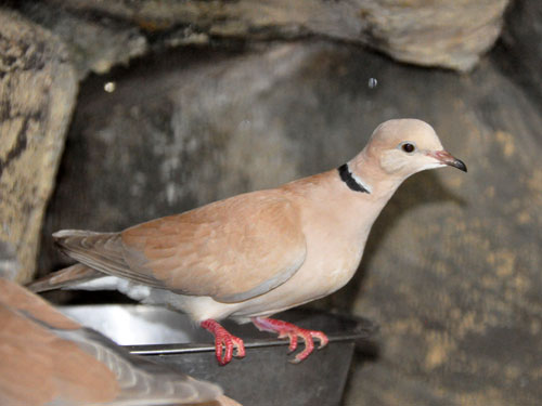 photo Pink-headed turtle dove / <span class='cursive'>Streptopelia roseogrisea</span>