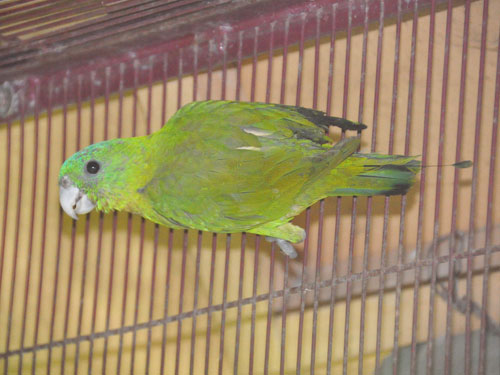 photo Salomonsen's racquet-tail parrot / <span class='cursive'>Prioniturus discurus whiteheadi</span>