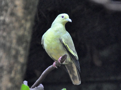 photo Pink-necked green pigeon / <span class='cursive'>Treron vernans vernans</span>