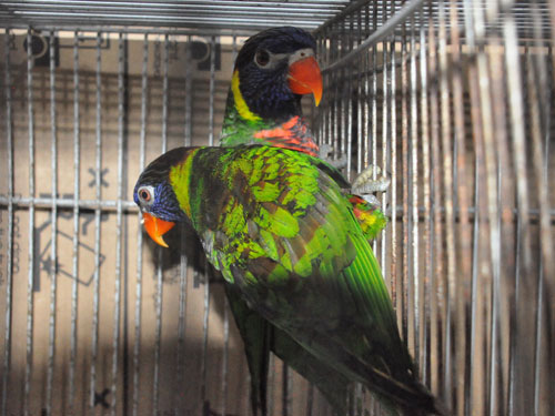 photo Trichoglossus haematodus / Rainbow lorikeet