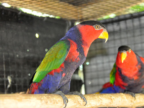 photo Black-capped lory / <span class='cursive'>Lorius lory lory</span>