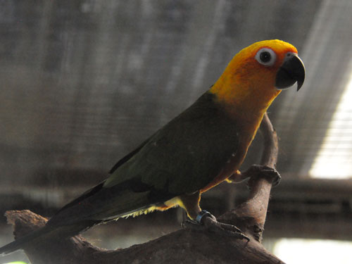 photo Jandaya conure / <span class='cursive'>Aratinga jandaya</span>