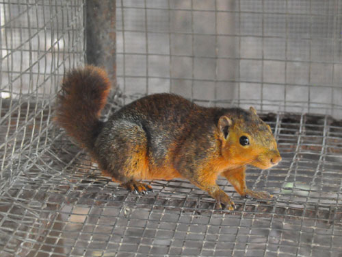Southern Palawan tree squirrel