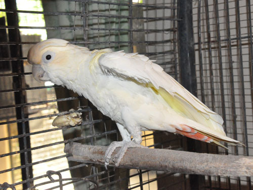 Red-vented cockatoo