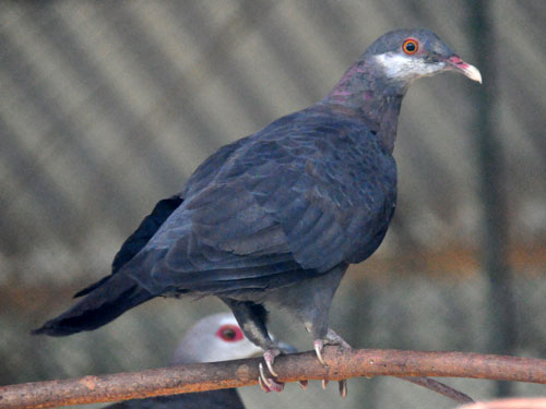 White-throated wood pigeon
