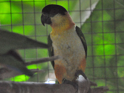 Black-headed caique