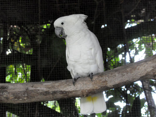 White cockatoo