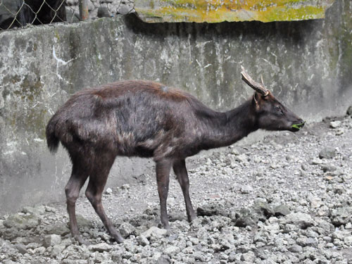 photo <span class='cursive'>Rusa marianna marianna</span> / Philippine brown deer