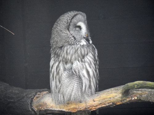 photo Great grey owl / <span class='cursive'>Strix nebulosa lapponica</span>