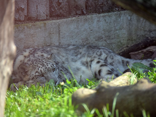 photo Snow leopard / <span class='cursive'>Panthera uncia</span>