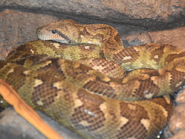 photo Madagascar tree boa / <span class='cursive'>Sanzinia madagascariensis</span>