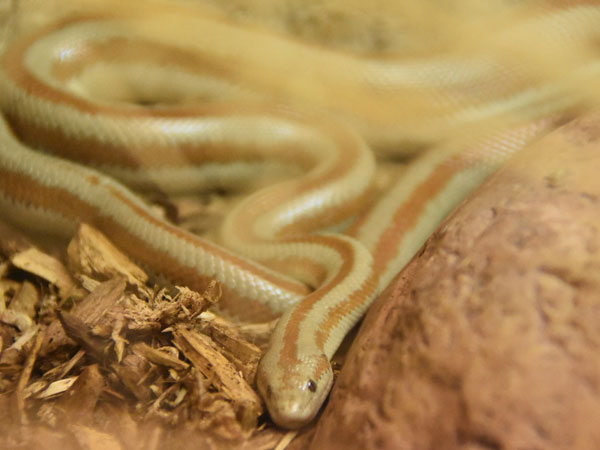 photo Bay of Los Angeles rosy boa / <span class='cursive'>Lichanura trivirgata saslowi</span>