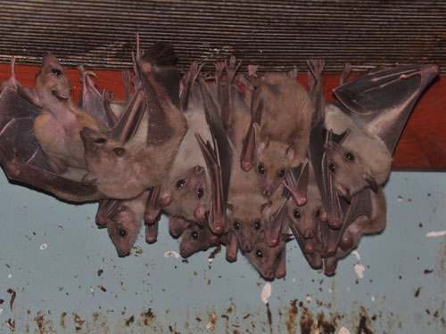 photo Rousettus aegyptiacus / Egyptian fruit bat