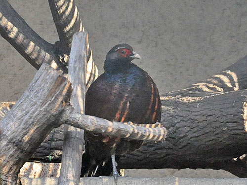 Bar-tailed pheasant