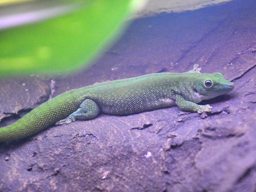Koch's giant day gecko