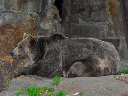 photo Brown bear / <span class='cursive'>Ursus arctos</span>