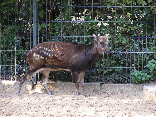 Alfred's spotted deer