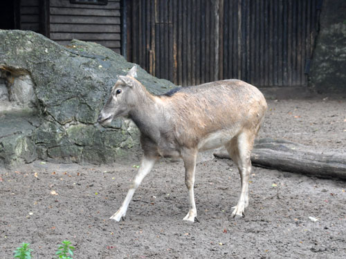 photo Pere David's deer / <span class='cursive'>Elaphurus davidianus</span>