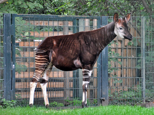 photo Okapi / <span class='cursive'>Okapia johnstoni</span>