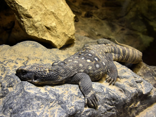 photo Varanus exanthematicus / Savanna monitor