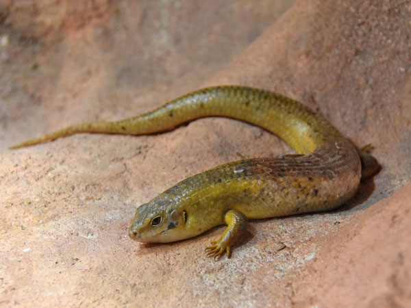 photo Major skink / <span class='cursive'>Egernia frerei</span>