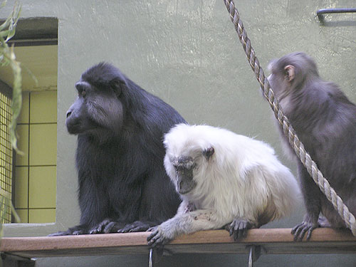 photo Moor macaque / <span class='cursive'>Macaca maura</span>