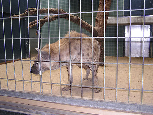 photo Spotted hyaena / <span class='cursive'>Crocuta crocuta</span>