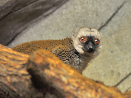 photo White-fronted brown lemur / <span class='cursive'>Eulemur albifrons</span>