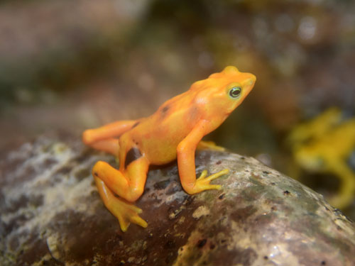 photo Panamanian golden frog / <span class='cursive'>Atelopus zeteki</span>