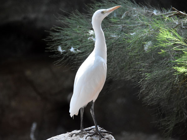photo Cattle egret / <span class='cursive'>Bubulcus ibis</span>