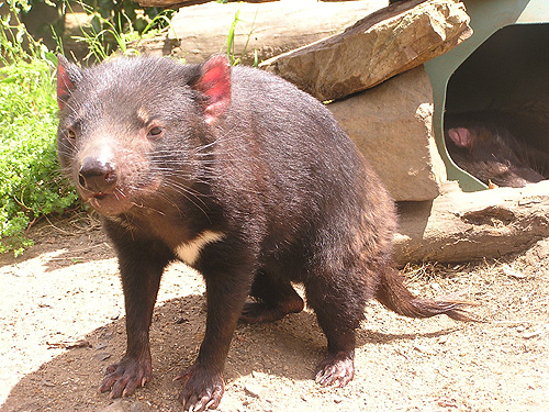 photo Tasmanian devil / <span class='cursive'>Sarcophilus harrisii</span>