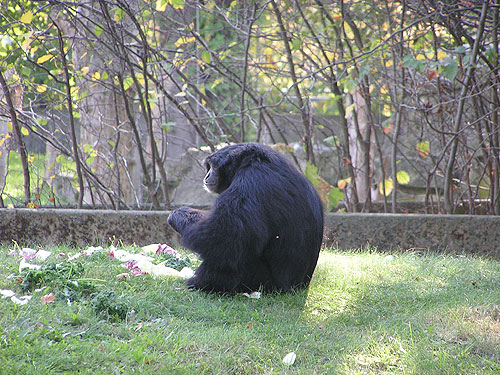 photo Siamang / <span class='cursive'>Symphalangus syndactylus</span>