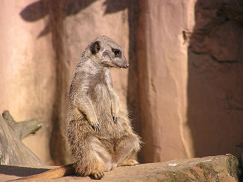 photo Slender-tailed meerkat / <span class='cursive'>Suricata suricatta</span>
