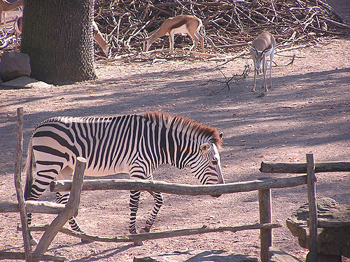 photo Hartmann's mountain zebra / <span class='cursive'>Equus zebra hartmannae</span>
