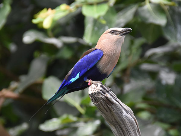 photo Blue-bellied roller / <span class='cursive'>Coracias cyanogaster</span>