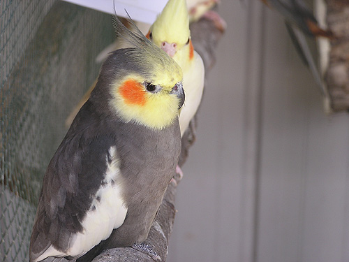 photo Cockatiel / <span class='cursive'>Nymphicus hollandicus</span>