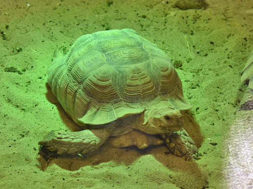 African spurred tortoise / Centrochelys sulcata<br> Total: 92