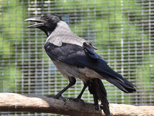 photo Hooded crow / <span class='cursive'>Corvus corone cornix</span>