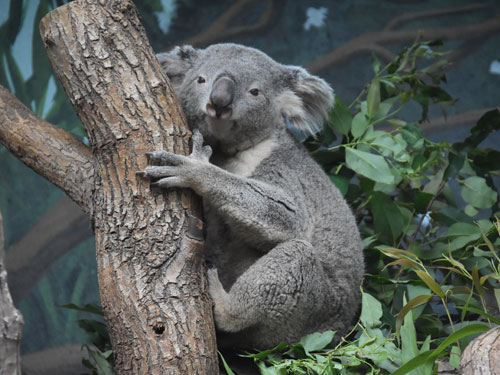 photo Queensland koala / <span class='cursive'>Phascolarctos cinereus adustus</span>