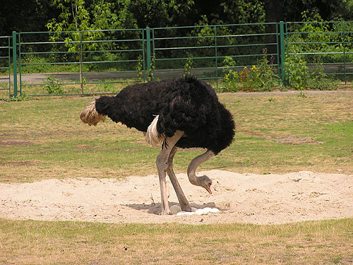 photo Cape ostrich / <span class='cursive'>Struthio camelus australis</span>