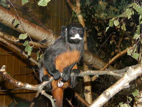 Red-bellied white-lipped tamarin