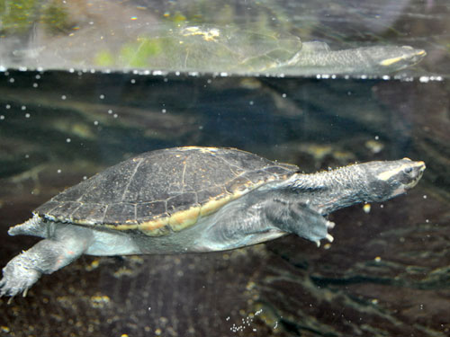 South American snake-necked turtle