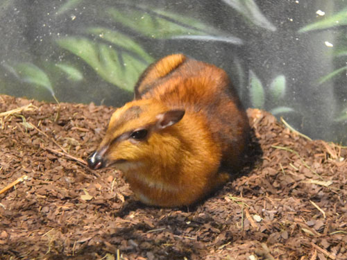 Greater Malayan chevrotain