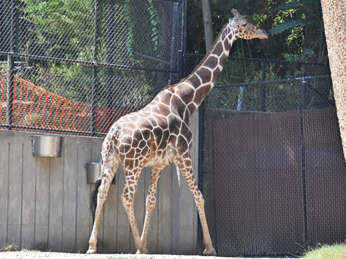 photo Reticulated giraffe / <span class='cursive'>Giraffa camelopardalis reticulata</span>